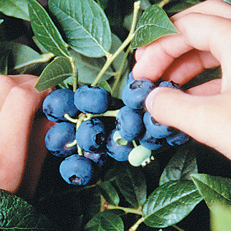 Dwarf Northblue Blueberry