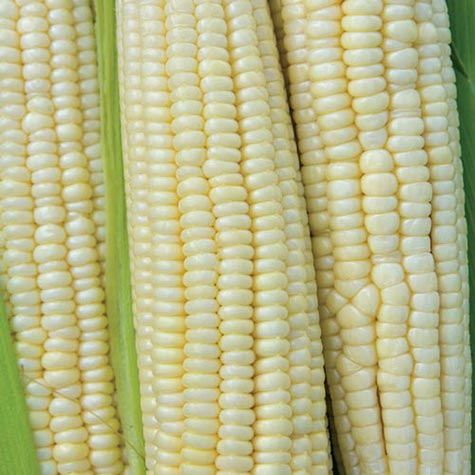 Hickory King White Dent Corn