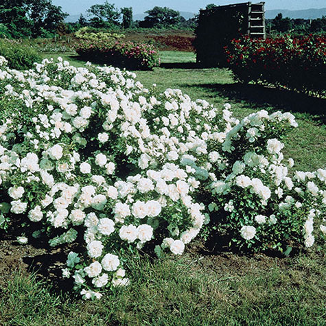 White Meidiland Groundcover Rose