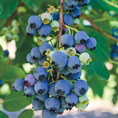 Ochlockonee Rabbiteye Hybrid Blueberry