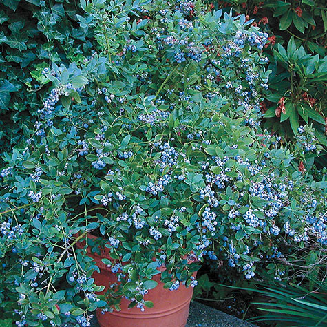 Sunshine Blue Southern Highbush Blueberry