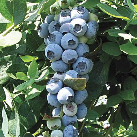 Emerald Southern Highbush Hybrid Blueberry