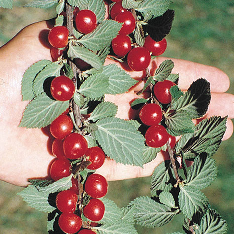 Nanking Bush Cherry Gurney S Seed Amp Nursery Co