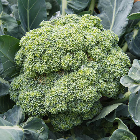 Broccoli Emerald Crown Hybrid