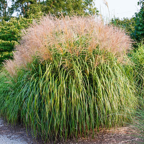 Maiden grass ornamental gurney 39 s seed nursery co for Tall grasses for shade