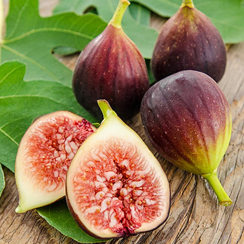 Hardy Everbearing Fig