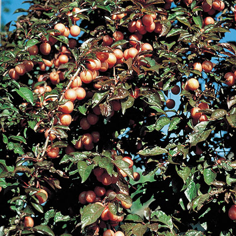 Native Plum Tree