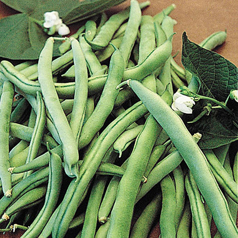 Blue Lake 274 Bush Beans