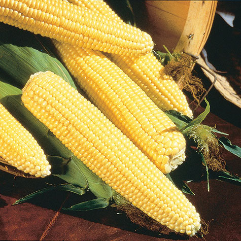 Northern Yellow Xtra-Sweet Hybrid Sweet Corn (sh2)