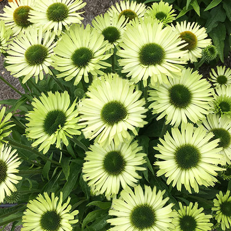 Green Jewel Coneflower