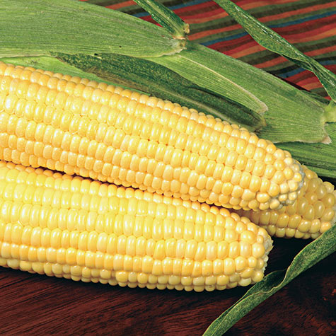 Bodacious RM (se) Sugary Enhanced Hybrid Sweet Corn
