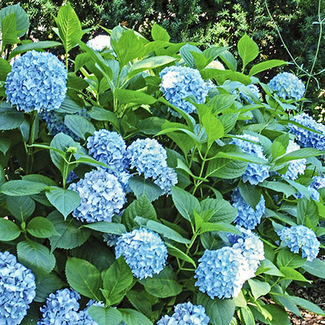 All Summer Beauty Hydrangea