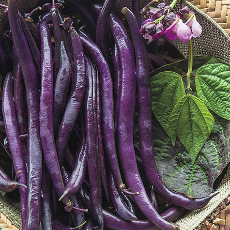Purple Queen Improved Bush Bean