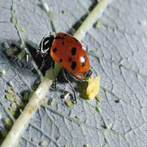 Sta-Home<sup>TM</sup>  Lady Beetles