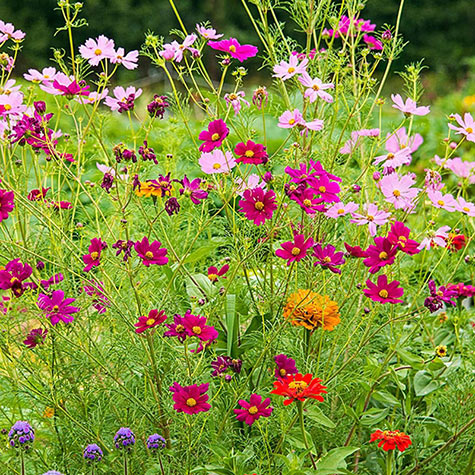 Monarch Butterfly Garden Mixture