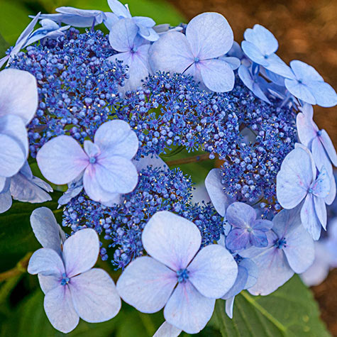 Endless Summer<sup>&reg;</sup> Twist-n-Shout<sup>&reg;</sup> Hydrangea