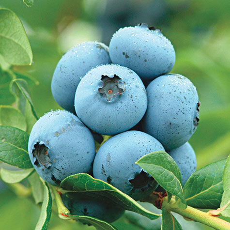 Northland Semi-Dwarf Blueberry