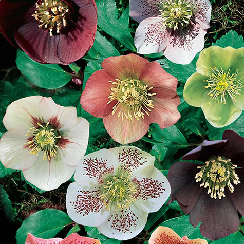 Royal Helleborus Mix