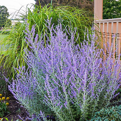 Rocketman Russian Sage