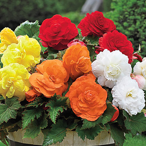 Giant Camella Begonia Mix