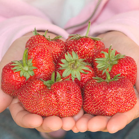 Jewel Junebearing Strawberries