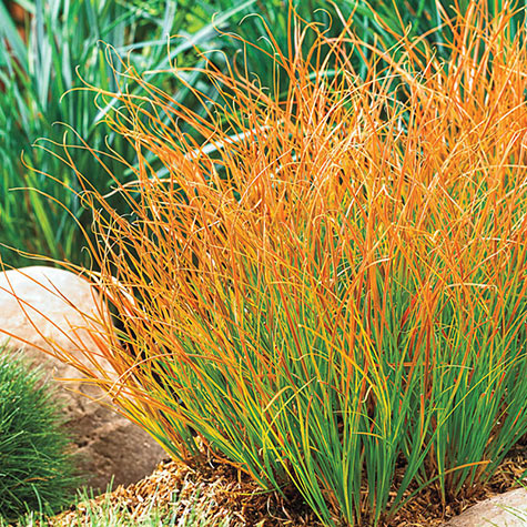 Prairie Fire Carex