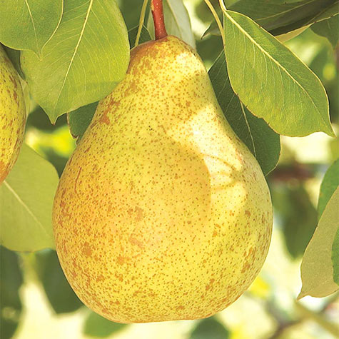 Ambrosia™ Pear Tree