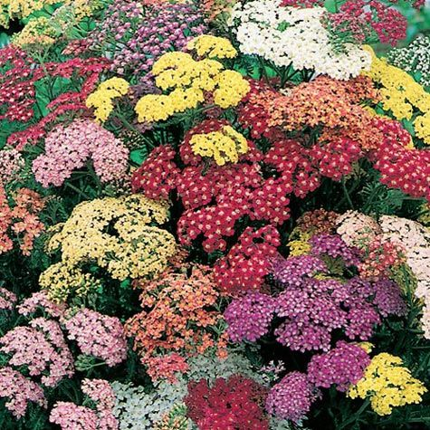 Summer Pastels Yarrow Mix