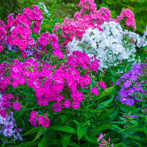 Tall Phlox Mix