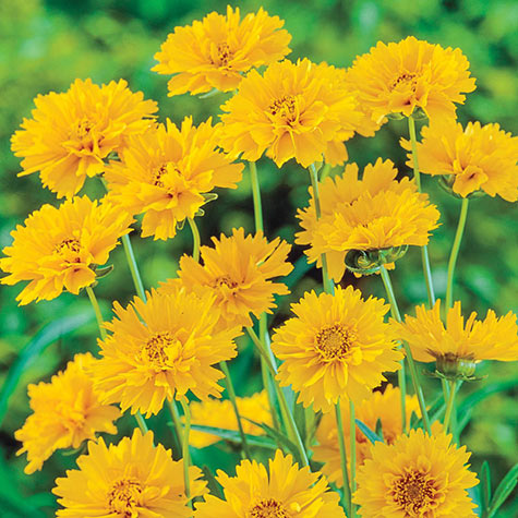 Early Sunrise Coreopsis