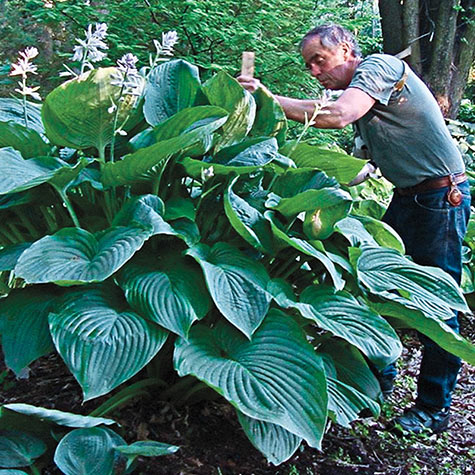 Empress Wu Hosta PP20774