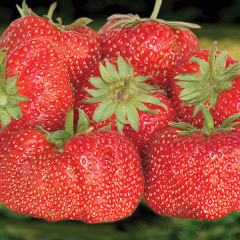 Jewel Junebearing Strawberry