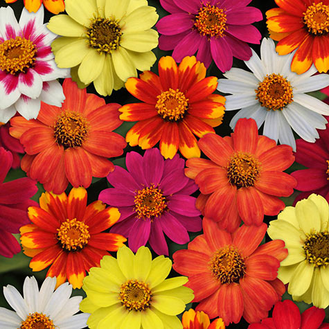 Zahara® Improved Zinnia Mixture