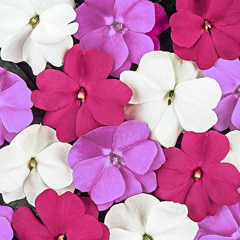 Divine Mystic Mix New Guinea Impatiens