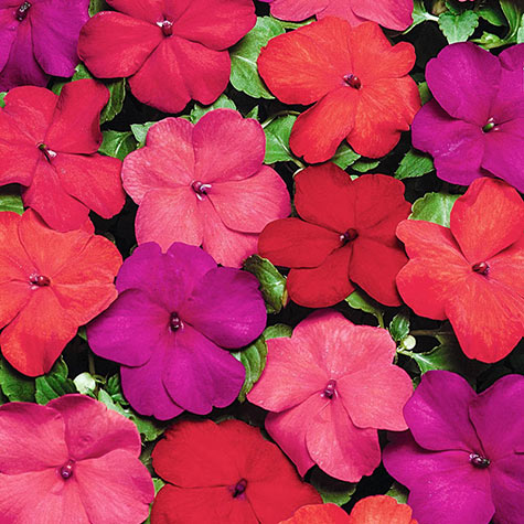 Super Elfin® XP Hot Impatiens Mixture