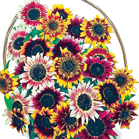 Bohemian Rhapsody Sunflower Mix
