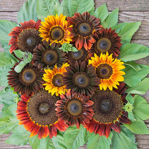 Royal Flush Sunflower Mix
