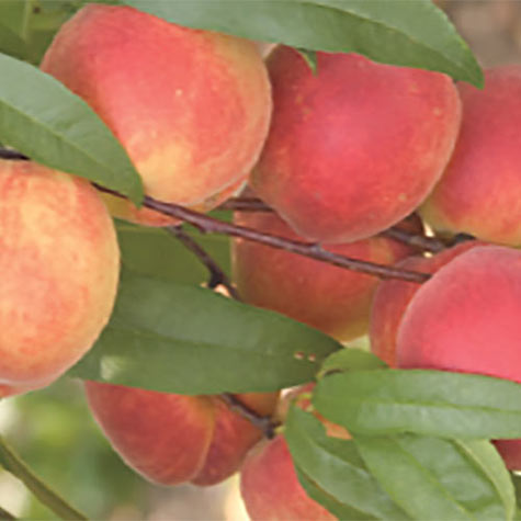 TruGold&trade; Reachables<sup>&reg;</sup> Peach Tree