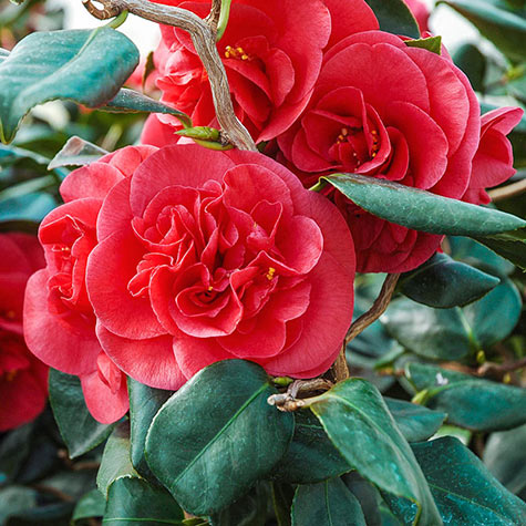 Curly Lady Camellia