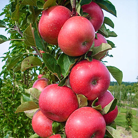 Tasty Red™ Urban Apple<sup>®</sup>