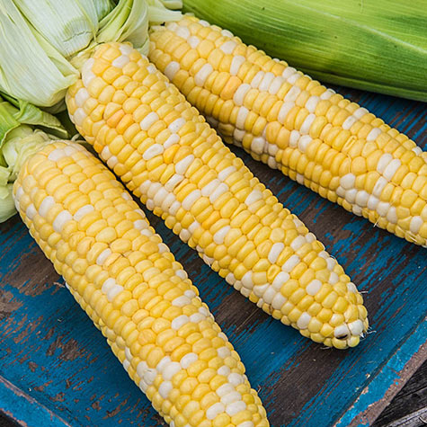 Picasso Hybrid Sweet Corn (sy)