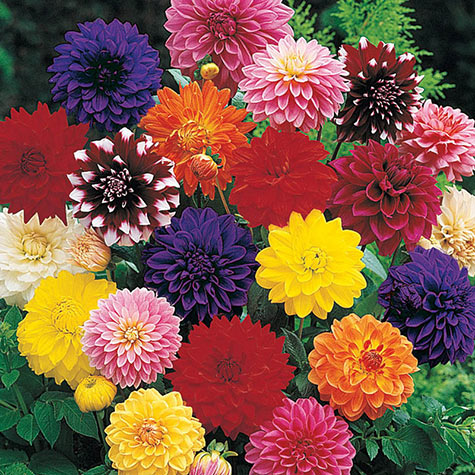 Decorative Dahlia Mix