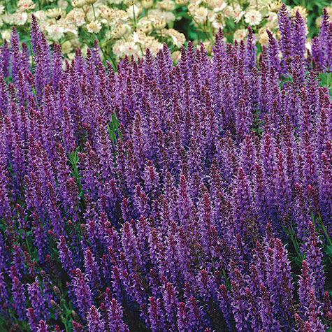 May Night Salvia