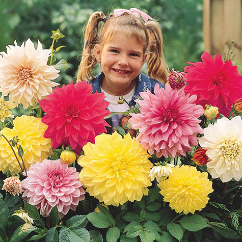 Dinnerplate Dahlia Mix