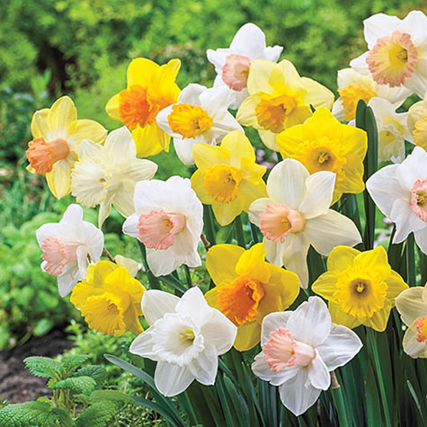 Giant Trumpet Daffodils For Naturalizing Narcissus Bulbs