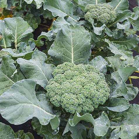 Premium Crop Hybrid Broccoli