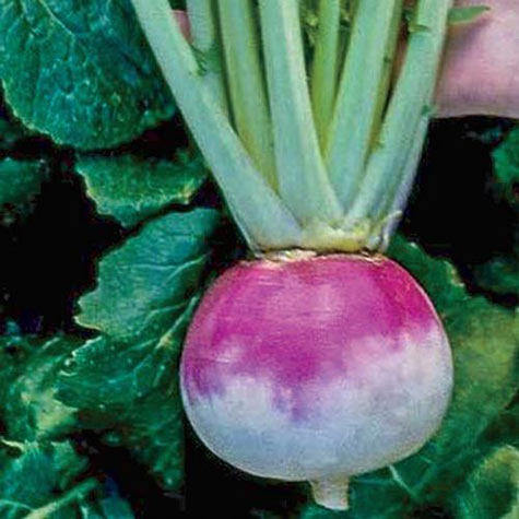 Royal Crown Hybrid Turnip