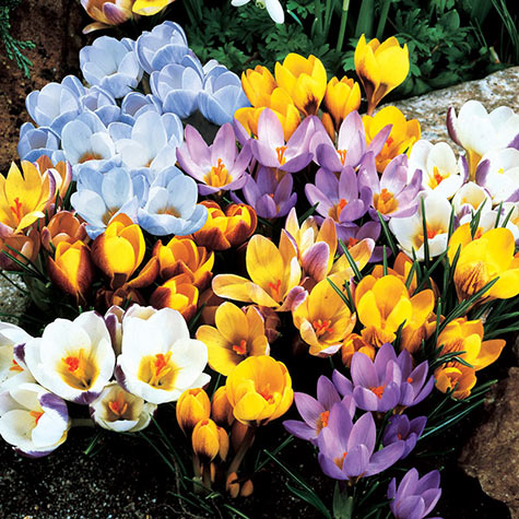 All Species Crocus Mix