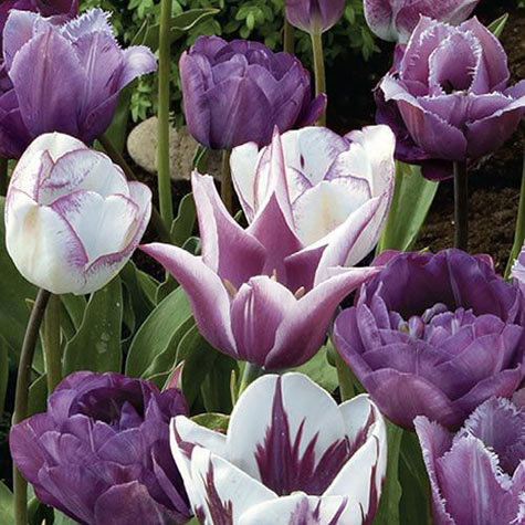 Purple Perfection Duo Tulip