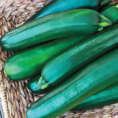 Gurney's<sup>&reg;</sup> Pride Improved Zucchini Hybrid Summer Squash